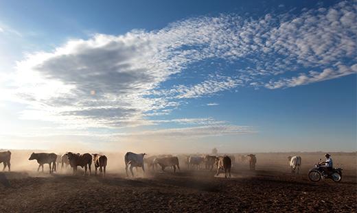 Kidman Station Cattle Grazing